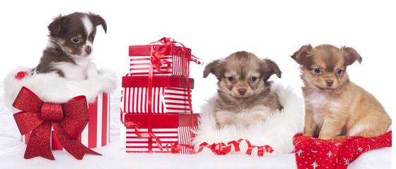 Chihuahua an Weihnachten