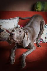 Cane di razza Weimaraner sul divano
