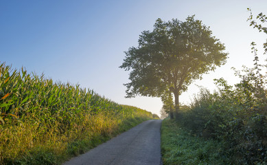 Trees along a road in summer at dawn