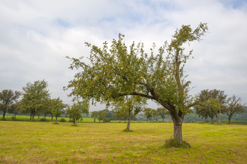 Fruit trees in a meadow in summer