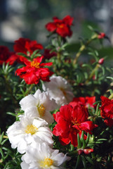 White and red double moss rose