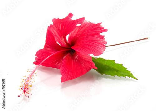 Foto Spatwand Rozen hibiscus flower