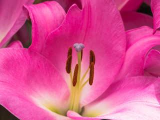 Petals, stigma and anthers of a pink lily