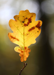 yellow oak leaf