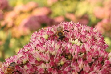 Fetthenne mit Biene