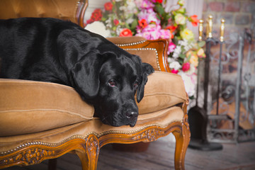 Black labrador dog with flower