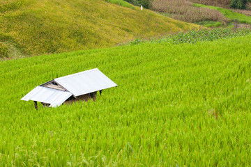 farmer house in the rice field