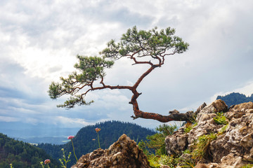 pine, most famous tree in Pieniny Mountains, Poland