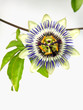Common Passion flower (Passiflora caerulea)