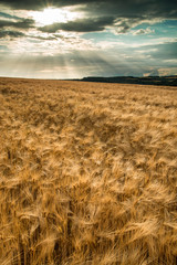 Stunning countryside landscape wheat field in Summer sunset