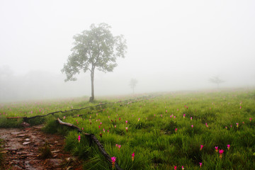 Siam Tulip field with lonely tree