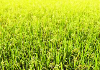 Rice field close up background