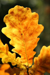 yellow oak leaf