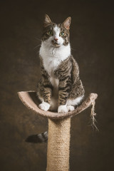 Cute young tabby cat with white chest sitting on scratching post