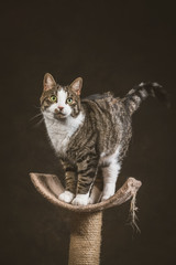 Cute young tabby cat with white chest standing on scratching pos