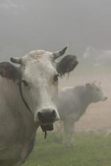 Vache gasconne dans le brouillard