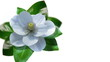 growing magnolia flower time lapse with isolated mask