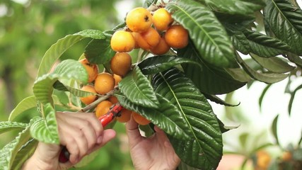 Spring Fruit Picking Loquats
