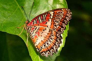 Red Lacewing butterfly in the gardens.
