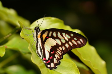 Graphium Dosani butterfly in the gardens