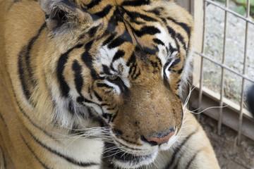 The tiger (Panthera tigris)