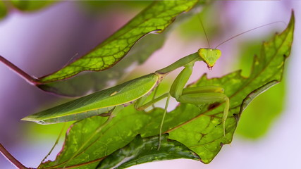 Mantis on the hunt is disguised as a leaf.