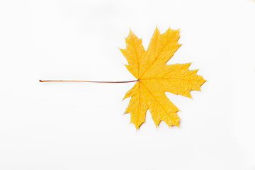 yellow dry maple leaf