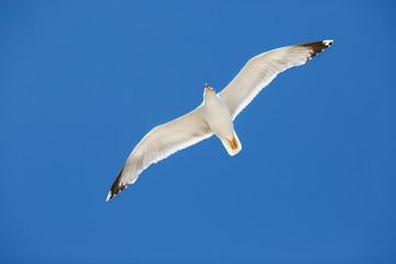 White sea gull flying in the blue sunny sky