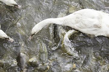 Swan eating carp