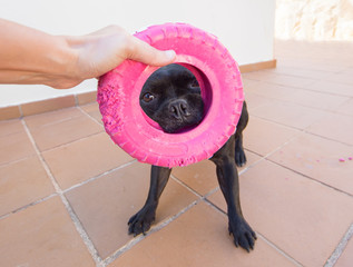 Cute black dog holding a pink toy