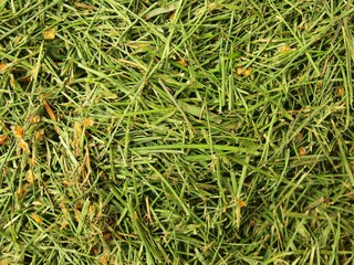 Decay harvested grass in big green smell mound in garden corner