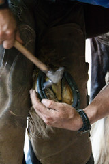 Shoeing a horse
