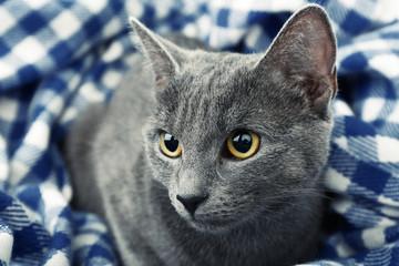 Cat on blue blanket closeup