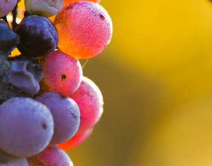 Wine grapes close-up