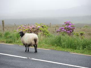 Mouton irlandais 8