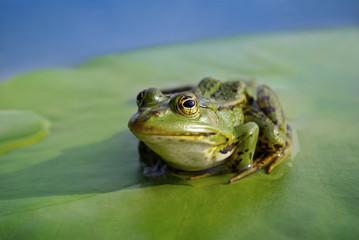 Big green frog sitting on a green leaf lily