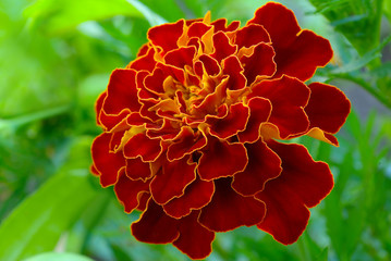 Large marigold flowers growing on a green flower bed