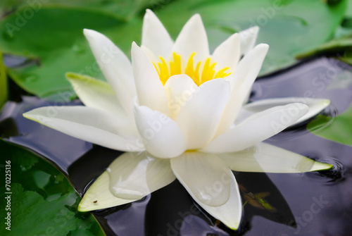 Foto op Canvas Water planten White lily blooming lake on the background of green leaves