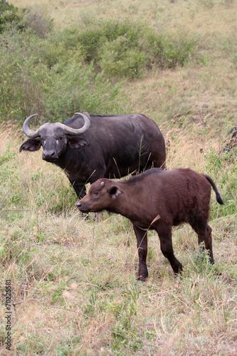 Plexiglas Buffel Bufflone et son bufflon