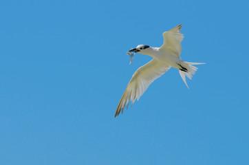 Sandwich Tern on Blue Background