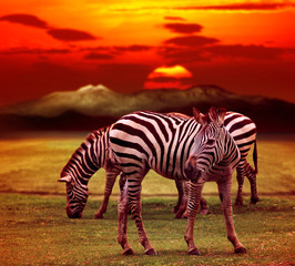 wild zebra standing in green grass field against beautiful dusky