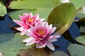 Floating water lilly flowers