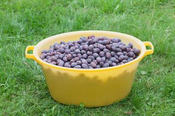 Zwetschke plums harvest.