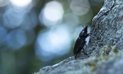 Female stag beetle, Lucanus cercvus in twilight