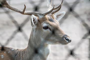 fallow deer with horns