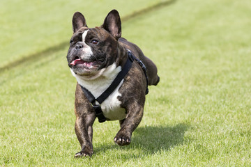 Running french bulldog lawn