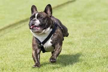Running french bulldog lawn