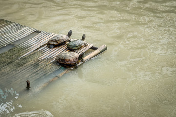 Water turtles are on a bamboo pontoon in lake