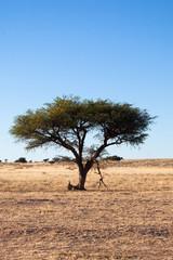 Acacia in Namibia