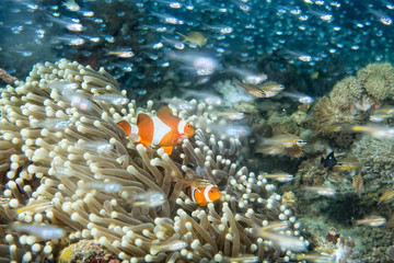 Clown fish into anemone tentacles